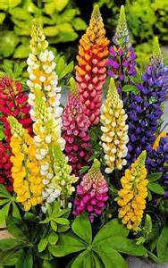 lupine color beautiful lupine flowers