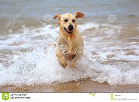 dogs in water running in water stock photo image 18000630