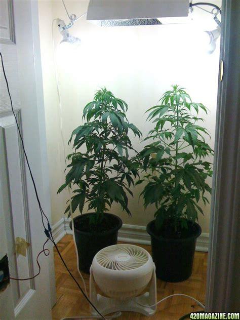 Closet Growing by K C 36 Grow Poor Closet Grow Page 11