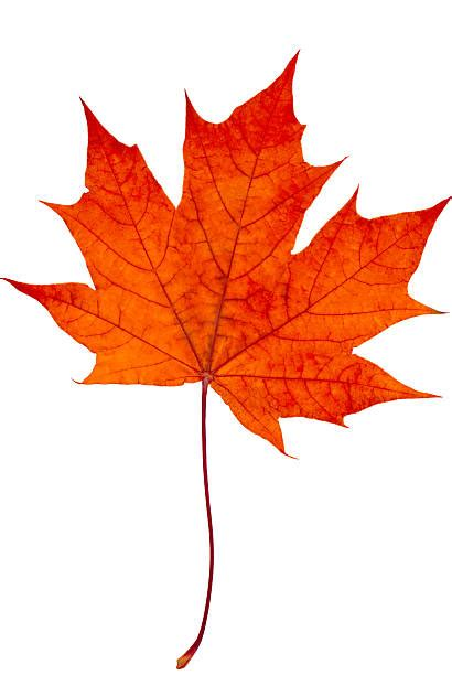 Maple Leaf royalty free maple leaves pictures images and stock