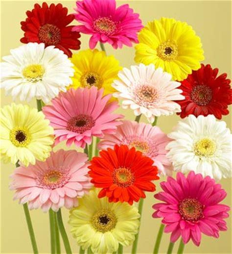 imagenes de gerberas blancas flores m 225 s usadas en las bodas