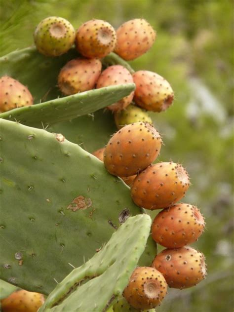 image prickly pear cactus fruit download prickly pear cactus figs free stock photos in jpeg jpg