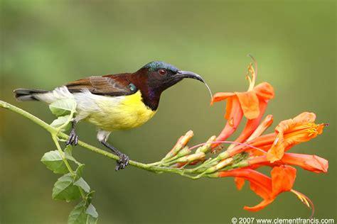 the sunbird nectariniidae sunbirds s birdwatching adventures plus