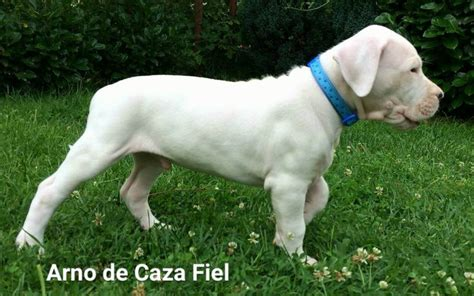 dogo argentino puppies for sale 2016 25 best ideas about dogo argentino for sale on dogo argentino