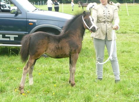 welsh section d youngstock for sale welsh section d youngstock for sale johnmilisenda com