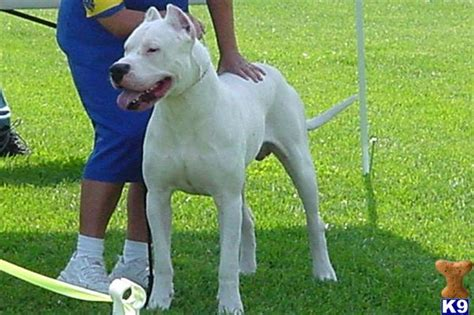 dogo argentino puppy price dogo argentino puppy for sale debonair dogos chionbred dogo argentino puppies 3