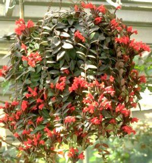 aeschynanthus radicans the lipstick plant great for indoors too