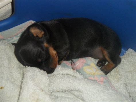 miniature dachshund puppies for sale in pa micro mini dachshunds for sale in pa breeds picture