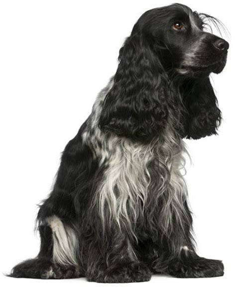 Cocker Spaniel Shedding Information by Spaniels Bar And Facts On