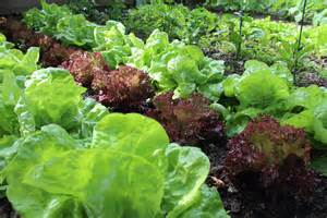 what to plant in vegetable garden now plant your fall vegetable garden now fall vegetables