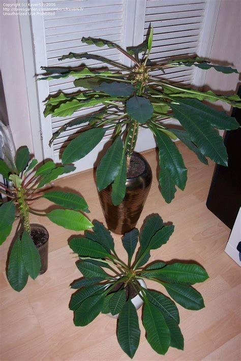plantfiles pictures euphorbia species madagascar jewel
