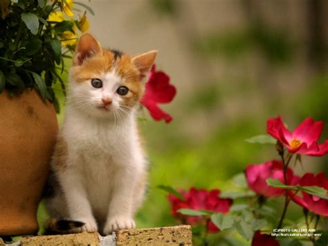 wallpaper anak kucing imut rada cute google