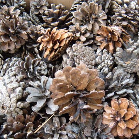 Pine Cones For Fireplace by Suzuya Rakuten Ichiba Rakuten Global Market Saga
