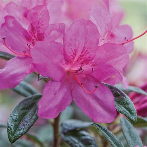 encore azalea 3 gal autumn 80533 the home depot