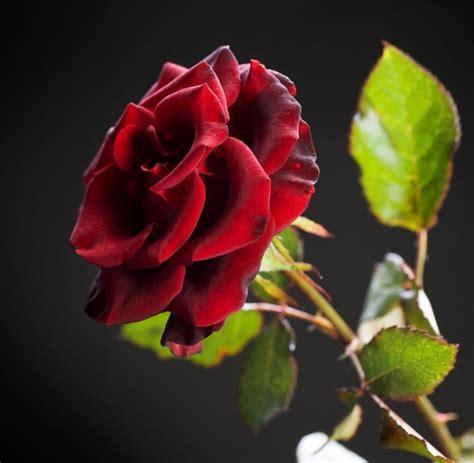 black beauty rose   plants garden supplies