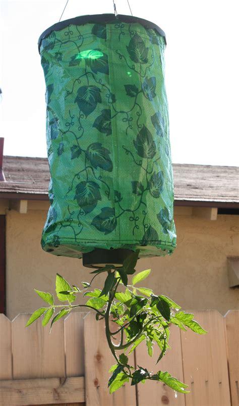 growing tomatoes upside  upsides  downsides