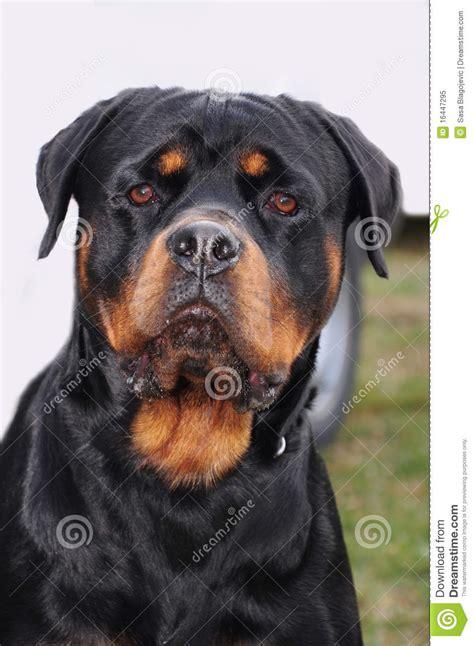 large rottweiler large rottweiler royalty free stock photo image 16447295