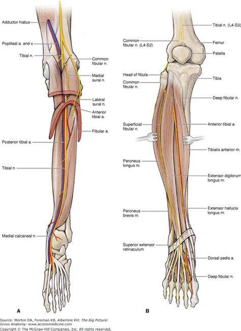 Sch 246 N Gross Anatomy Of The Muscular System Review Sheet ...