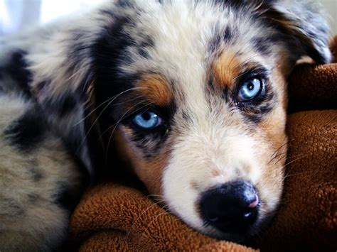 australian sheepdog puppy australian shepherd breed guide learn about the australian shepherd