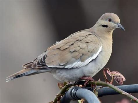 wat doesa brid dove look like 20 dove images wallpapers photos symbol of peace