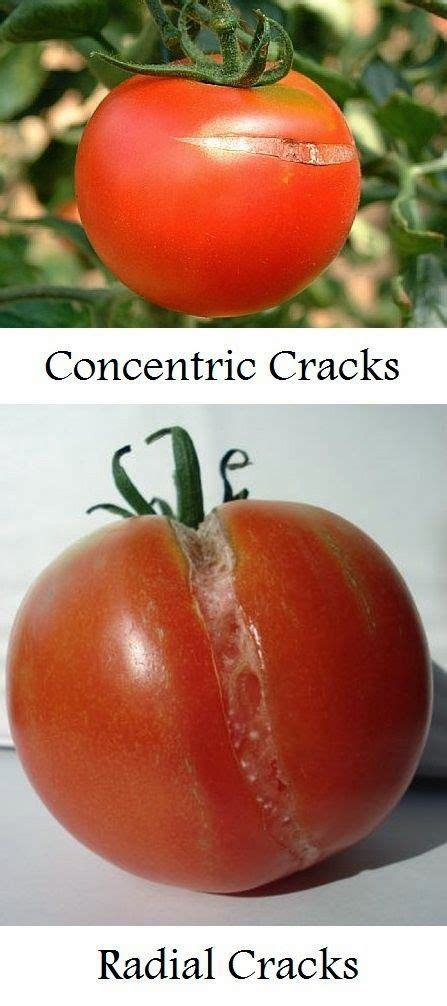 i m so surprised to find out why tomatoes split and the