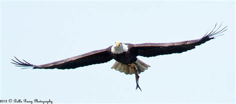 Flying Eagle Fast Blade Black Blue flying high emily mitchell nature wildlife photography