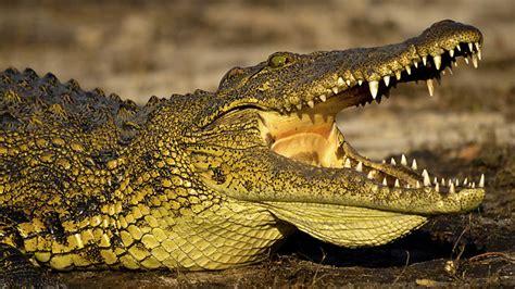 imagenes ojos de reptiles documental los cocodrilos de katuma videos de animales