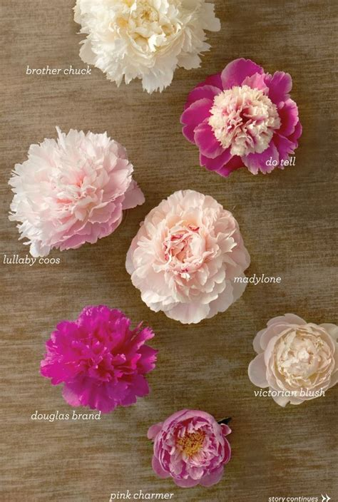 different types of peonies gardening pinterest different types different types of and peonies
