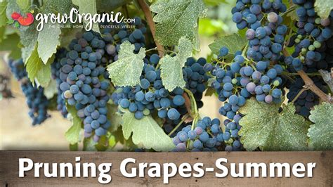 Do You To Use Organic Grapes For A Detox by Top 28 How To Trim A Grape Vine In Summer Mechanical