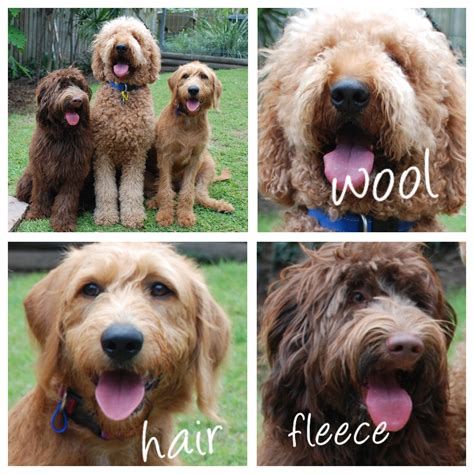 Goldendoodle Hair Types by Amalie Labradoodles Labradoodle Coat Types Dogs