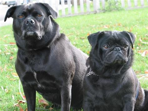 pug lab mix the guys the o jays and lol on
