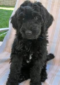 goldendoodle puppy jumping puppys labradoodles and black labradoodle on