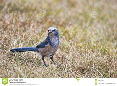 florida scrub jay on a cable royalty free stock
