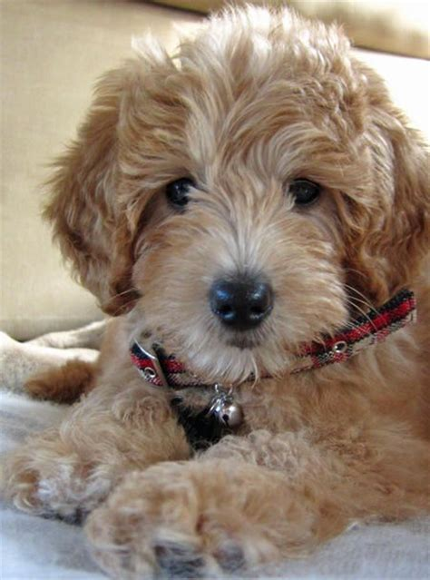 goldendoodle puppy problems 1000 ideas about cockapoo breeders on