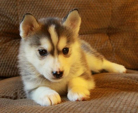 puppies for sale siberian husky puppies for sale curious puppies