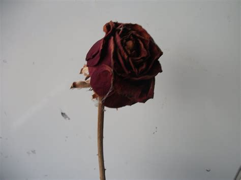 wilted rose on white background by ridderkvinden on deviantart