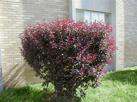 prunus xcistena purple leaf sand cherry purple leaves are lighter than plum shrub plant list 9