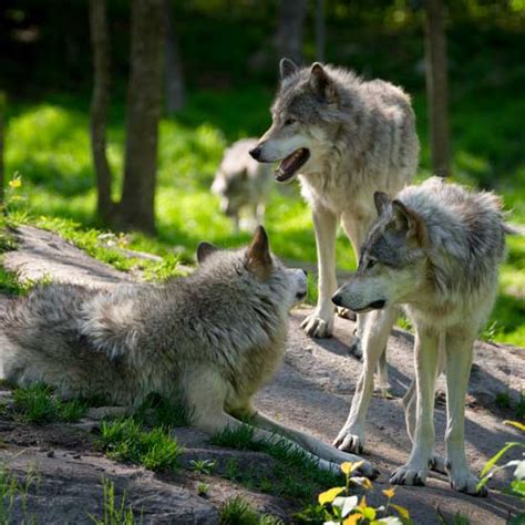 the domestication how wolves and humans coevolved books the domesticated dogs community utne reader