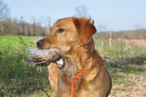 golden retriever magazine dummy how tom dokken is changing retriever gun magazine