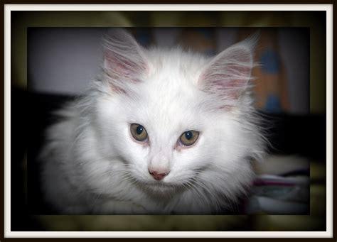 ragdoll breeders qld kowlcoons registered maine coon cat breeder ragdoll