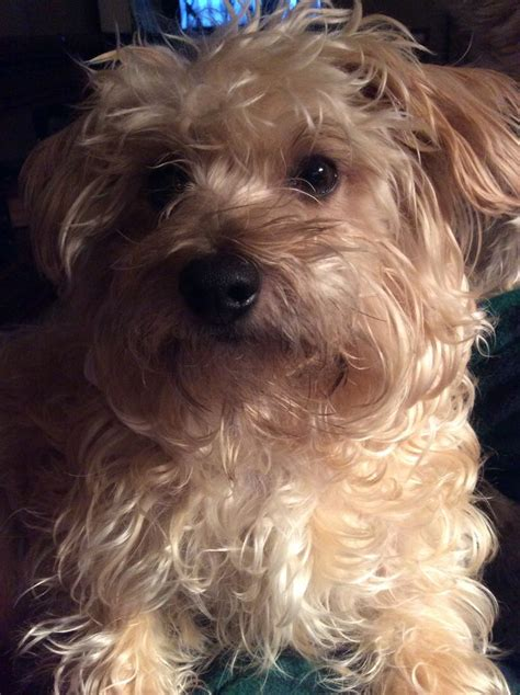that looks like a yorkie 17 best images about terriers and poodles like dogs on poodles