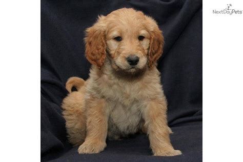goldendoodle puppy prices meet toby a goldendoodle puppy for sale for 700