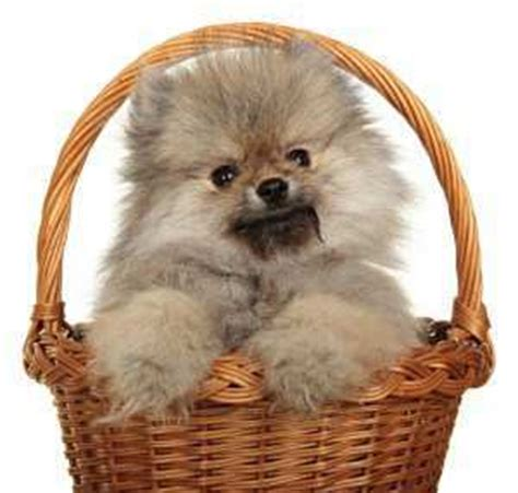what of food do pomeranians eat pet pom proper pomeranian feeding