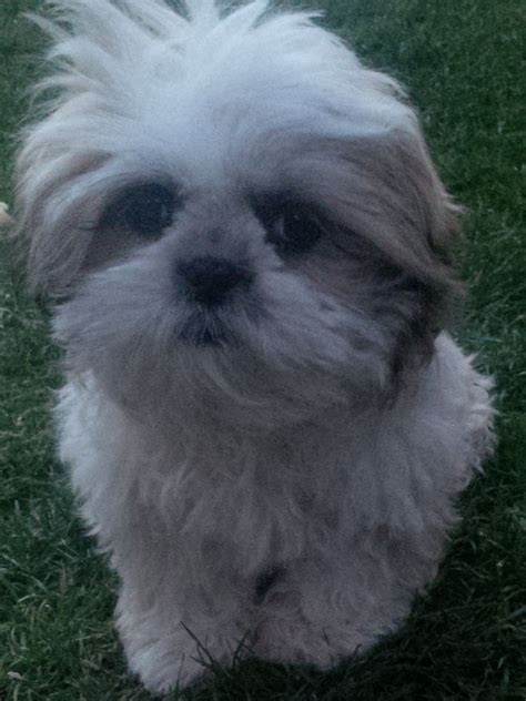 shih tzu birmingham shih tzu for sale quot cleo quot birmingham west midlands pets4homes