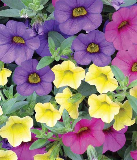 petunia colors nelesa gardening mixed colors petunia flower seeds 30