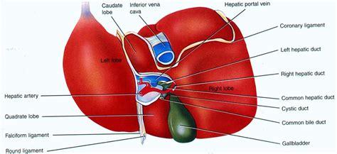 Liver On Diagram