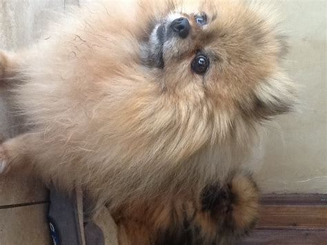 micro mini pomeranians for sale beautiful tiny micro pomeranian puppies for sale pomeranian miniature for sale