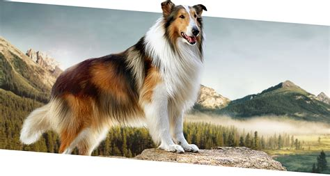 what of is lassie lassie images images