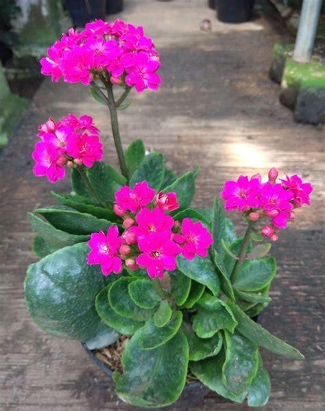 Tanaman Pink tanaman calandiva shocking pink bibitbunga