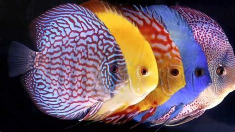 cara membuat aquascape ikan discus profil lengkap ikan discus sebagai ikan hias tawar